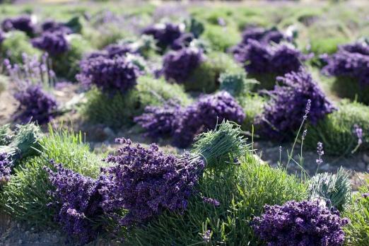 lavender super blue harvest
