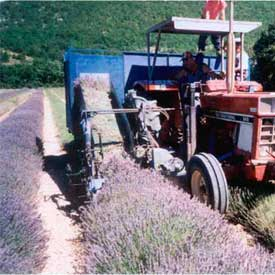 tracteur avec la recolte de lavande